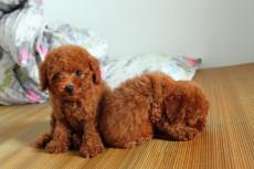 泰迪犬上海哪有卖上海什么地方卖泰迪