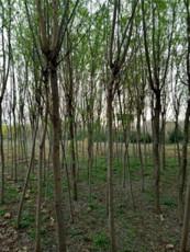 批發垂柳樹苗-12公分-15公分-18公分垂柳
