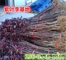 紫叶李-4公分5公分6公分紫叶李成活率高