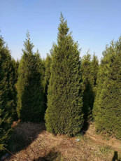 直销龙柏树苗1米-1.2米龙柏多少钱一株