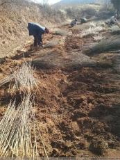 皂角苗木培育基地大刺皂角苗基地批發皂角樹