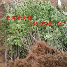 產地直銷叢生北海道黃楊1米1.2米北海道黃楊