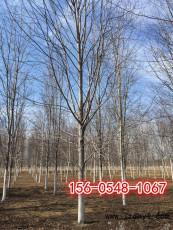 美国红枫报价7公分8公分10公分美国红枫