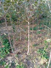 3公分蘋果樹一畝地密植占地賠償用3公分蘋果