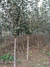 4公分蘋果樹一畝4公分蘋果樹種植多少棵