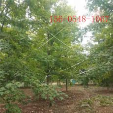 美国红枫树苗成活率高-15公分美国红枫