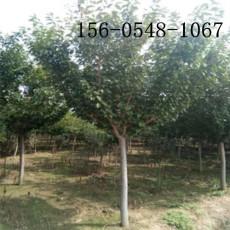 供應櫻花樹苗6公分7公分8公分10公分櫻花