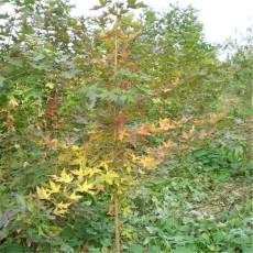 1年2年五角楓小苗價格 0.5厘米粗五角楓苗