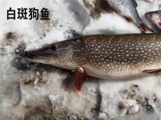 抚远淡水鱼批发市场 抚远活鱼批发电话