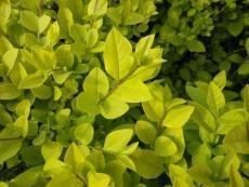 瓜子黃楊高度50公分瓜子黃楊成活率根系大