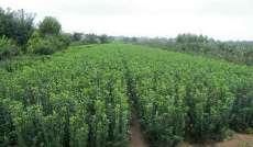 大葉黃楊高度60公分大葉黃楊根系發達成活率