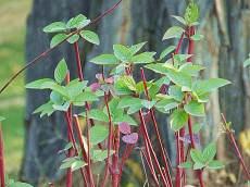 紅瑞木高度一米叢生分支耐寒成活率高