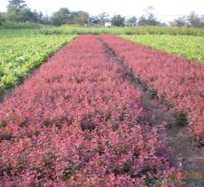 紅葉小檗高度60公分多分枝紅葉小檗根系發達