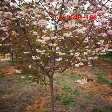 基地直銷13公分15公分18公分高桿櫻花樹