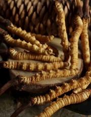 番禺冬蟲夏草回收價格-番禺哪里回收蟲草