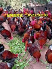 土鸡苗供应五黑鸡青脚麻质量保证送货到家
