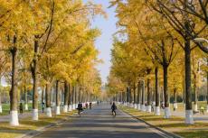 銀杏河北優質銀杏樹10公分粗銀杏樹管型優美