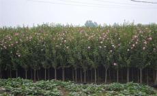 河北優質木槿圖片叢生木槿紅花品種質量一流