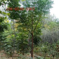 苦楝樹直銷10公分苦楝樹多少錢一株