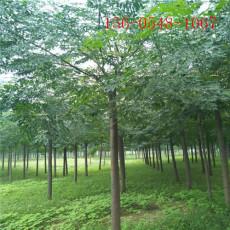 18公分苦楝树园林绿化苗木15公分苦楝树苗
