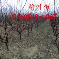 榆叶梅3公分5公分6公分带土发货榆叶梅