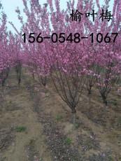 产地批发榆叶梅树苗5公分带土发货-量大