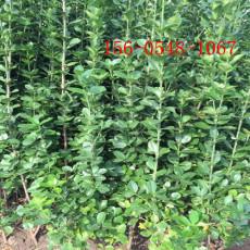 出售丛生北海道黄杨1.8米-2米北海道黄杨