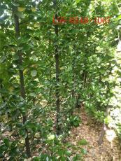 出售丛生北海道黄杨2米2.5米北海道黄杨