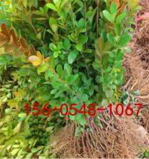 丛生北海道黄杨2米-3米丛生北海道黄杨