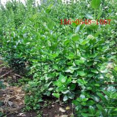 基地北海道黄杨报价2米3米4米北海道黄杨