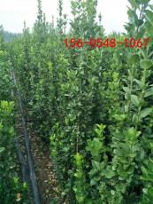 北海道黄杨1米-1.2米1.5米-1.8米北海道黄杨