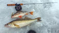 黑龍江新鮮銅羅魚銷售公司 銅鑼魚鮮魚多錢