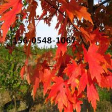 丛生红枫5米8米丛生红枫8米丛生红枫