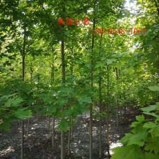 丛生红枫基地直销3米4米丛生红枫