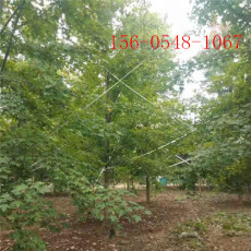丛生红枫树成活率高-5米-6米-8米丛生红枫树
