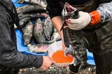 龍江正宗鮮大馬哈魚 撫遠漁民直銷大馬哈魚