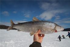 黑龍江白鮭魚貨源價格 冷凍高白鮭魚供應商