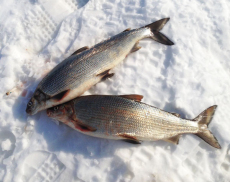 黑龍江白鮭魚專賣公司 黑龍江兔子魚批發價