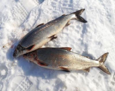 黑龙江白鲑鱼专卖公司 黑龙江兔子鱼批发价