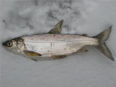 新疆高白鮭魚產地直銷 新鮮速凍兔子魚貨源