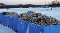 黑龍江七鰓鰻魚貨源價格 冷凍七星魚供應商