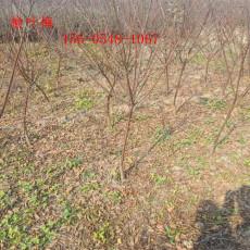 基地供应地径11公分榆叶梅13公分榆叶梅