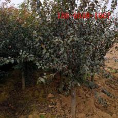 9公分榆叶梅-绿化苗木-15公分榆叶梅多少钱