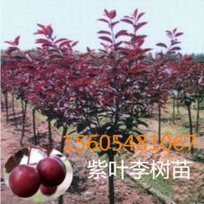 3公分紫叶李量大优惠5公分-7公分-紫叶李树