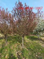 绚丽海棠11公分北美海棠15公分垂丝海棠