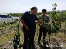 河南新品種杜仲嫁接繁育研究團隊