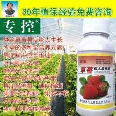 草莓膨大果快紅草莓膨大著色好產品