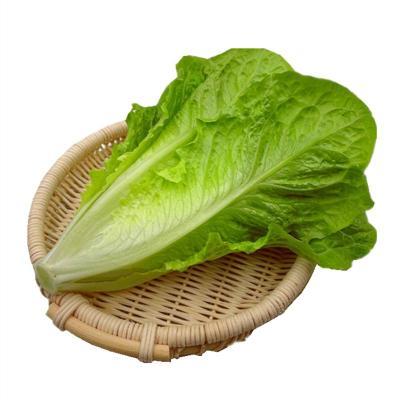 散叶罗马生菜新鲜果蔬绿色蔬菜沙拉火锅西餐
