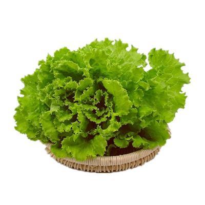 罗莎绿生菜新鲜花叶花边西餐配菜绿色蔬菜