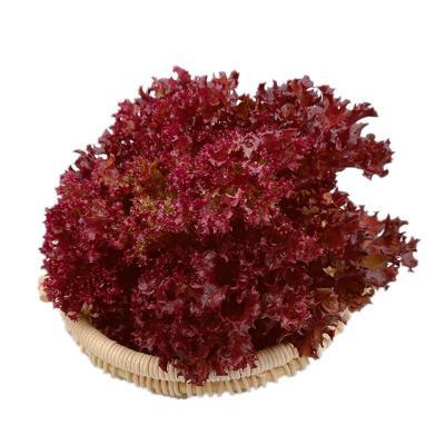 罗莎红生菜新鲜花叶花边西餐配菜绿色蔬菜